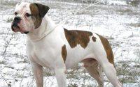 raza perro bulldog americano bulldog ingles
