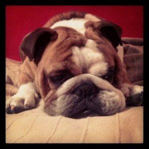 raza de perros bulldog ingles molosos braquicefalicos
