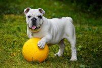 juguetes para bulldog ingles razas de perros canes kong