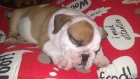 ACCESORIOS DE ALIMENTACIÓN PARA BULLDOG INGLES cachorros bulldog ingles bol para comida