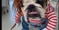 Disfraz para bulldog ingles de Chuky