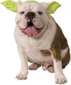 Disfraz para bulldog ingles orejas Yoda Star Wars