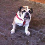 los mejores productos para bulldog ingles bulldog continental bulldog amerciano bulldog frances