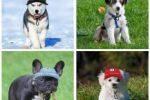 Gorra de material transpirable para perros ropa perros ropa bulldog ingles
