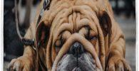 cuidado de la alimentacion del bulldog ingles