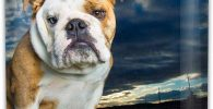 Petaca de acero para licor con english bulldog
