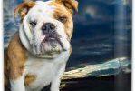 Petaca de acero para licor con english bulldog