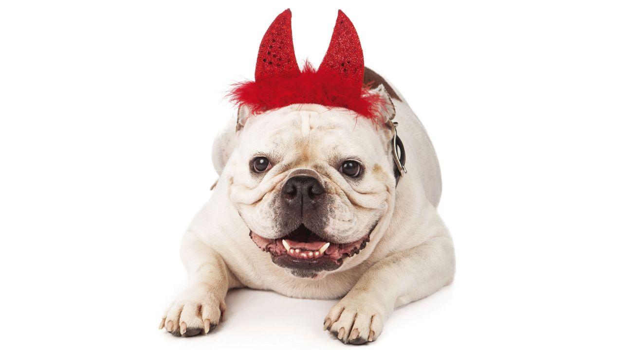 disfraz para bulldog ingles bulldog disfrazado de diablo ropa para bulldog ingles sueter bulldog ingles disfraces para bulldogs