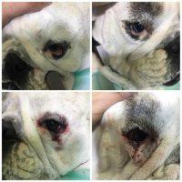 problemas oculares bulldog ingles ectropion entropion ojo de cereza