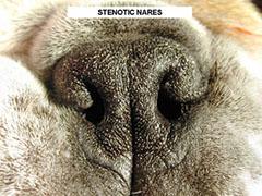 enfermedades habituales en el bulldog ingles problemas respiratorios sindrome braquicefalico estenosis narinas