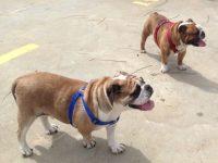 los mejores productos para bulldog ingles y merchandising para ti