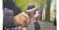 Cojin de bulldog viajero
