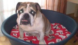 camisetas bulldog ingles camiseta bulldog camisetas buldog  camisetas bulldgog frances