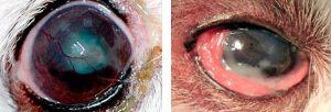patologias oculares bulldog queratoconjuntivitis seca bulldog por que mi bulldog inles tiene los ojos rojos siempre