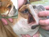 dermatitis bulldog ingles pliegues