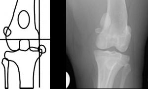 displasia de cadera en bulldog ingles luxacion rotula en nulldog ingles enfermedades osteoarticulares en bulldogs