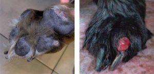 quistes interdigitales bulldog nodulos forunculos bulldog enfermedades de la piel y las patas en bulldog ingles