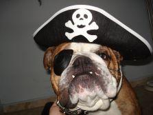 bulldog ingles disfrazado de pirata