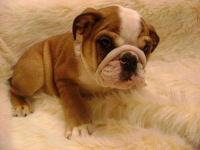 cachorros bulldog ingles venta precio camada bulldog ingles comprar bulldog ingles puppy como comprar un cachorro de bulldog ingles
