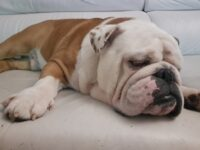 bulldog ingles blanco y marron Jordi colores bulldog ingles comprar bulldog ingles