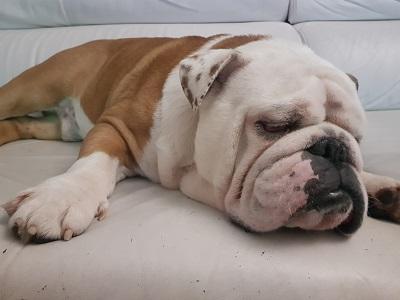 bulldog ingles blanco y marron Jordi colores bulldog ingles comprar bulldog ingles